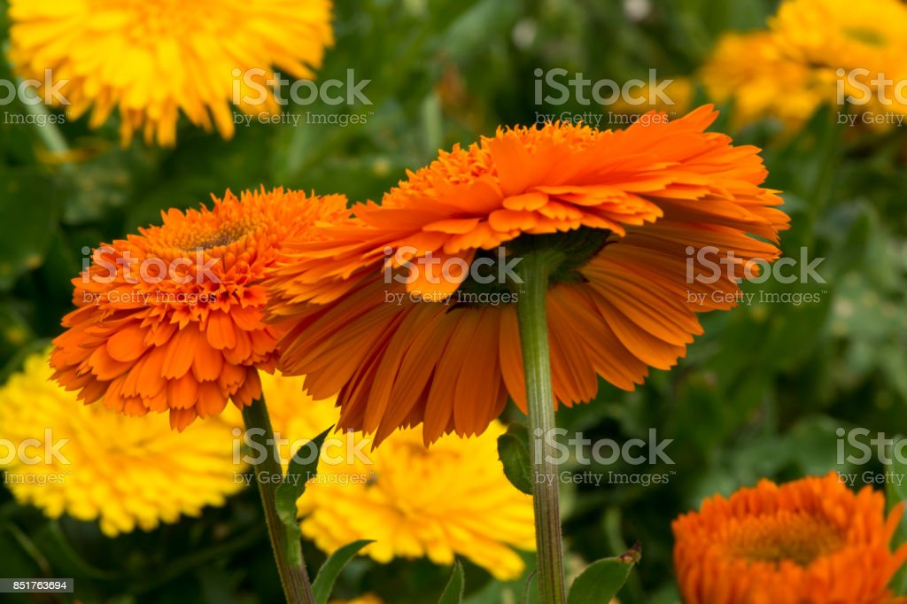 Group Various Orange and Yellow Double Calendula Officinalis stock photo