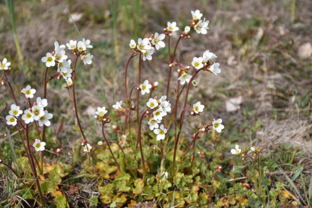 Group with blossom Saxifrage flowers stock photo