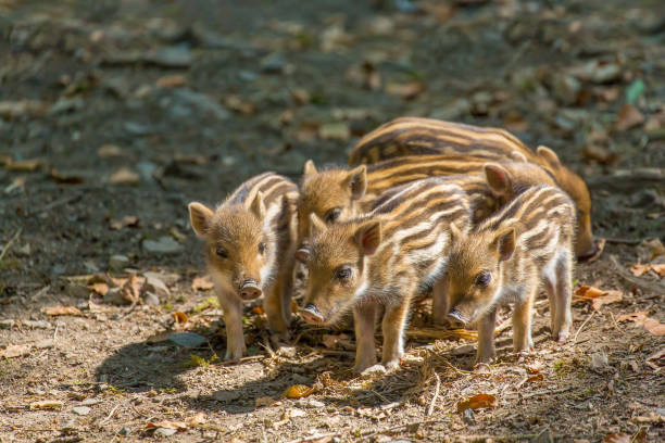 Group young wild boars standing together Group newborn wild boars standing together on ground. These wild young piglets are constantly in a group with their brothers and sisters. I took this photo in the dutch nature during summer season on a sunny day. wild boar stock pictures, royalty-free photos & images