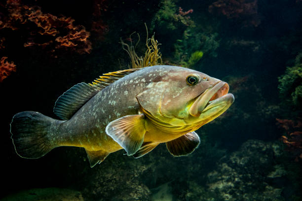 Grouper at entrance to cave stock photo