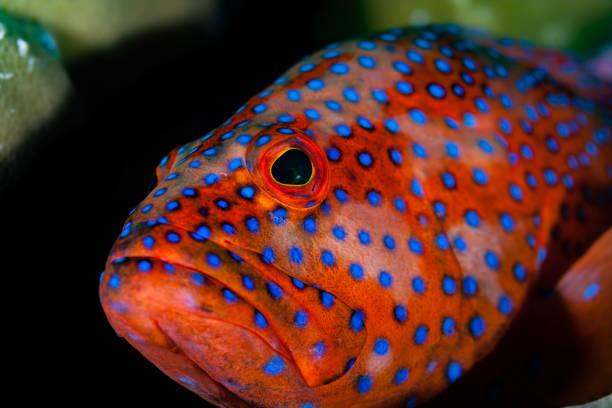 Grouper Beauty, Coral Hind Cephalopholis miniata Watching You, Palau, Micronesia stock photo