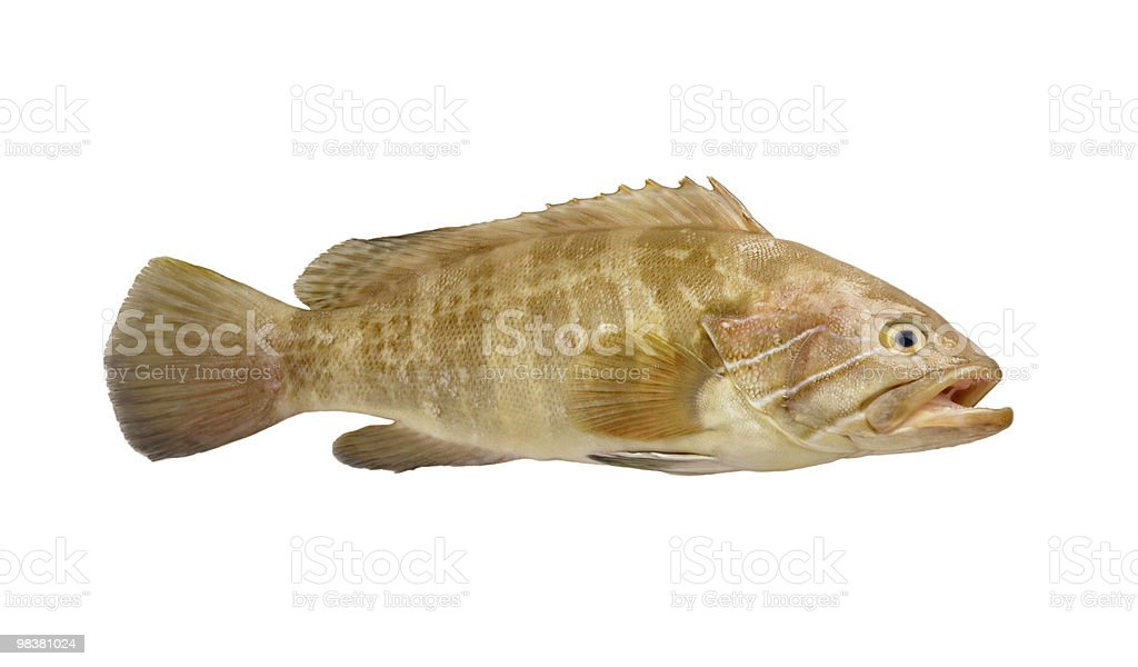 Grouper Fish royalty-free stock photo