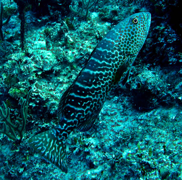 Grouper fish swimming in Nassau Bahamas stock photo