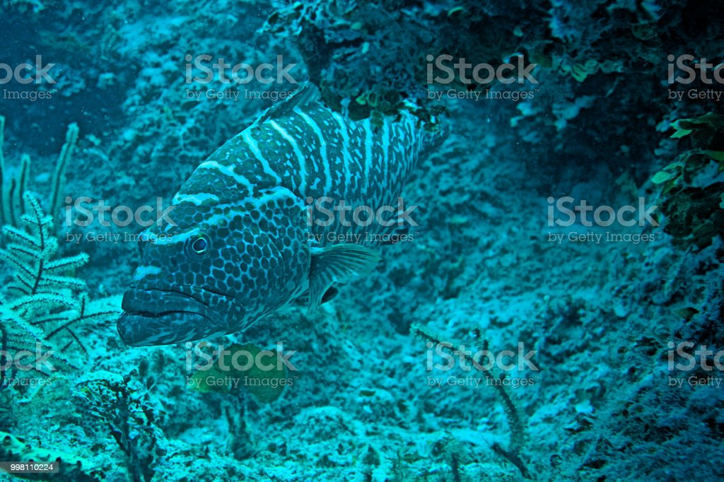 Grouper - Nassau, Bahamas stock photo