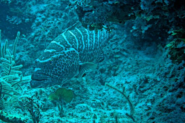 Grouper - Nassau, Bahamas stock photo