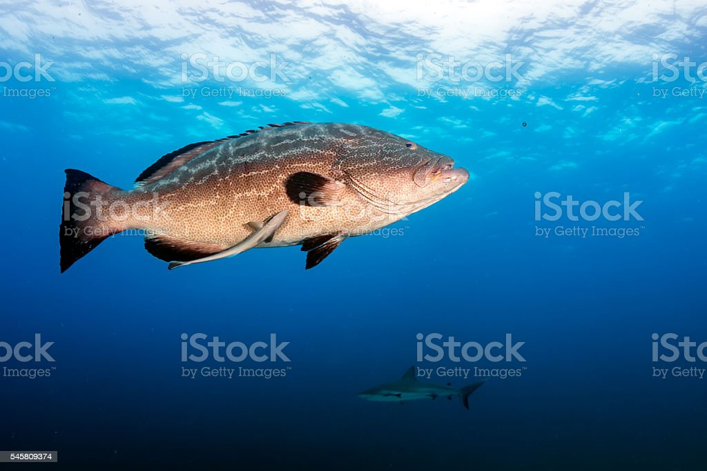 Grouper with background shark stock photo