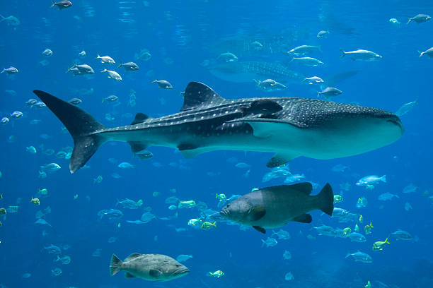 Groupers, Whale Sharks and lots of fish Giant Grouper (Epinephelus lanceolatus) is a reef-associated saltwater fish that dwells in shallow reefs, caves, wrecks and estuaries in tropical climates. whale shark stock pictures, royalty-free photos & images