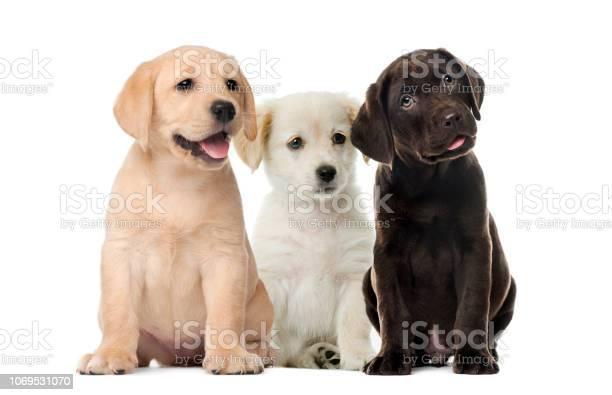 Groups of dogs labrador puppies puppy chocolate labrador retriever in picture id1069531070?b=1&k=6&m=1069531070&s=612x612&h=er4iiqkytojmshqcawklwdvhakgutmgykvqzwaj13ry=