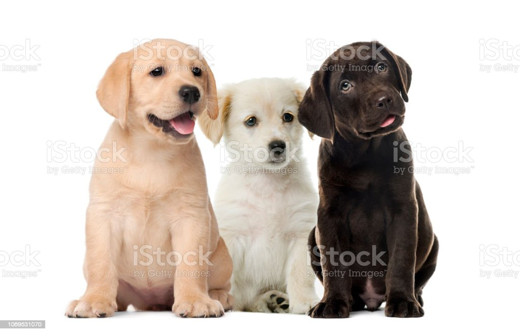 Groups of dogs, Labrador puppies, Puppy chocolate Labrador Retriever, in front of white background stock photo