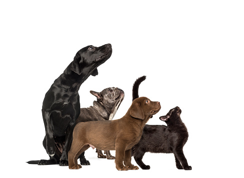 Groups of dogs, Labrador Retriever Puppy, Labrador Retriever, Mixed-breed black cat, French bulldog, in front of white background