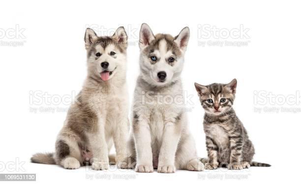 Groups of dogs siberian husky puppy alaskan malamute puppy american picture id1069531130?b=1&k=6&m=1069531130&s=612x612&h=q1wxx3dfefqbvfb mp0 ih2h2djwgvu6aqoifbw00f0=