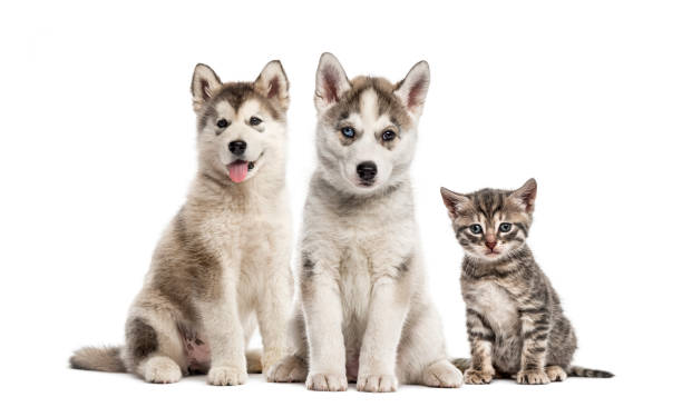 Groups of dogs siberian husky puppy alaskan malamute puppy american picture id1069531130?b=1&k=6&m=1069531130&s=612x612&w=0&h=d0sgd9ohcjtsmehe ikmrpc ch9pykg2yjhzcs qhre=