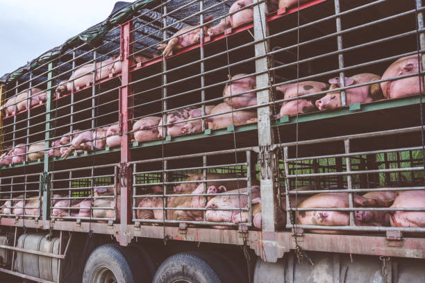 Groups of pigs in a cage stock photo