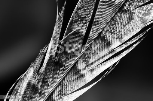 Close-up black and white photograph of a grouse feather.