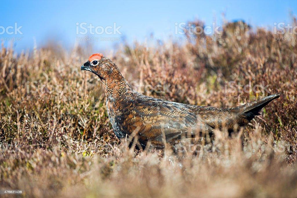 Grouse - Lagopus lagopus stock photo