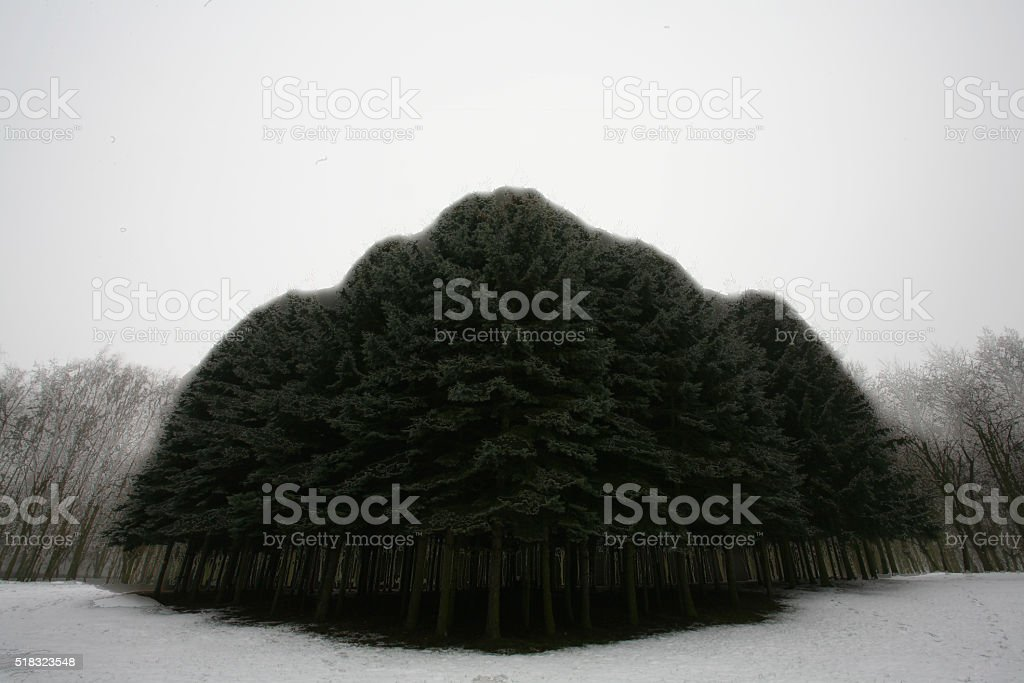 grove fir stock photo