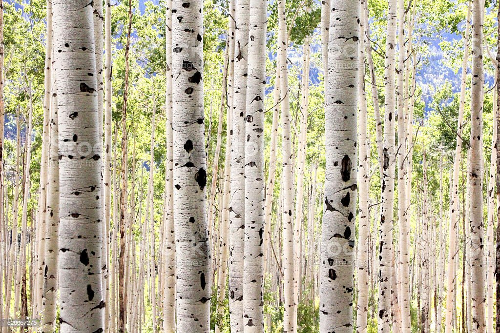 Grove of Aspen Trees stock photo
