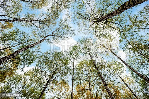 istock Grove of birch trees and dry grass in early autumn 829669500
