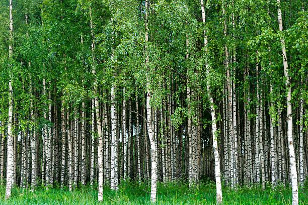 Grove of birch trees stock photo
