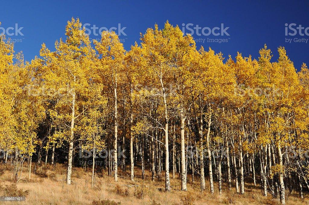 Grove of Fall Aspen Trees Autumn Leaves royalty-free stock photo