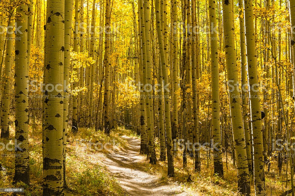 Grove of Golden Aspens stock photo