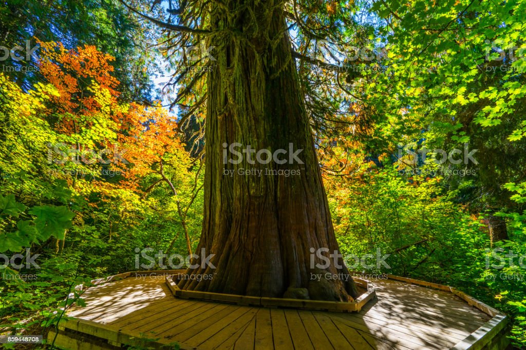 Grove of Patriarches stock photo