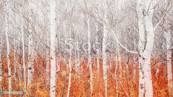 A group of tall skinny trees with white bark and no leaves stands over a bright orange ground cover of fallen leaves. A misty effect over the bare branches makes the scene look surreal and mysterious.