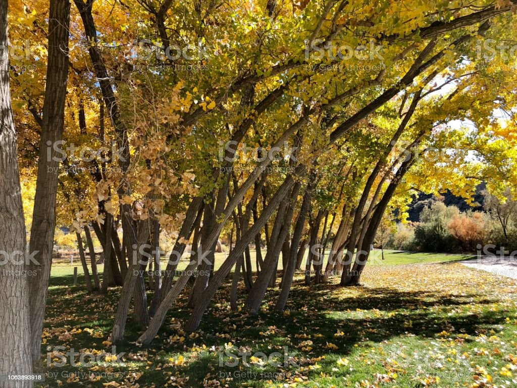 Grove of young Colorado Cottonwood Trees stock photo
