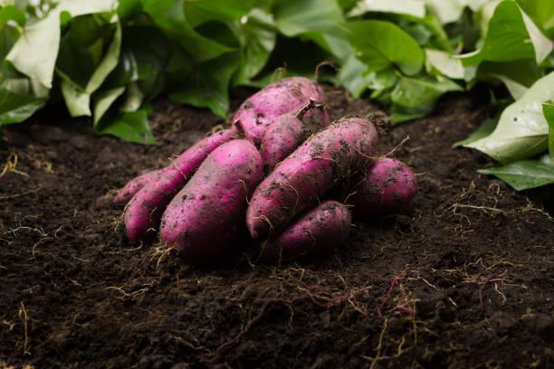 Grow and Harvesting sweet potato stock photo