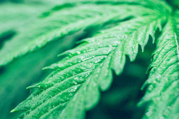 Grow in grow box tent. Northern light strain. Grow legal Recreational cannabis. Cannabis flower Indoors growing. Planting cannabis. - foto stock