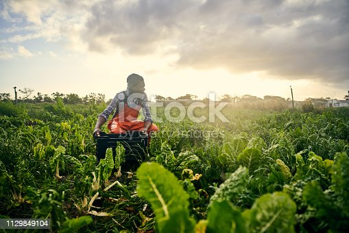 Shot of a young man picking organically grown vegetables on a farm