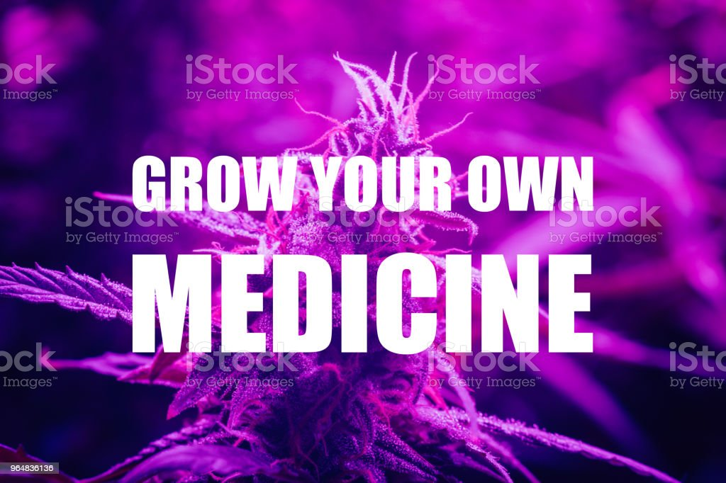 LED grow large cannabis bud grown under lamps. The concept of growing medical marijuana under artificial light artificial. Violet light tinting, grow your own medicine text royalty-free stock photo