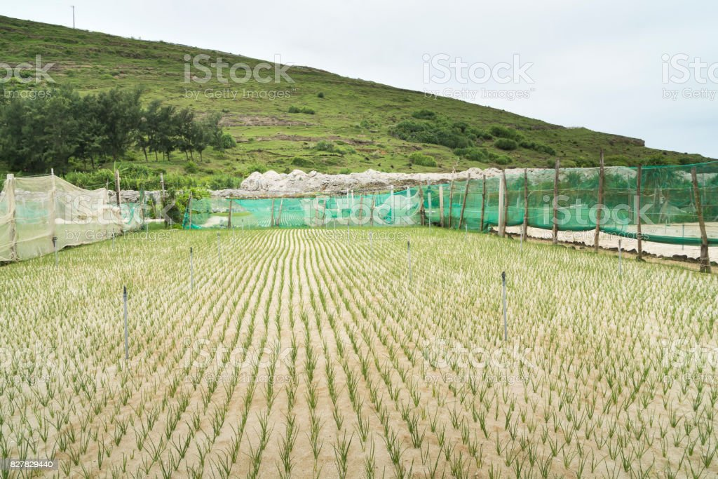 Grow onions and garlic on Ly Son island stock photo