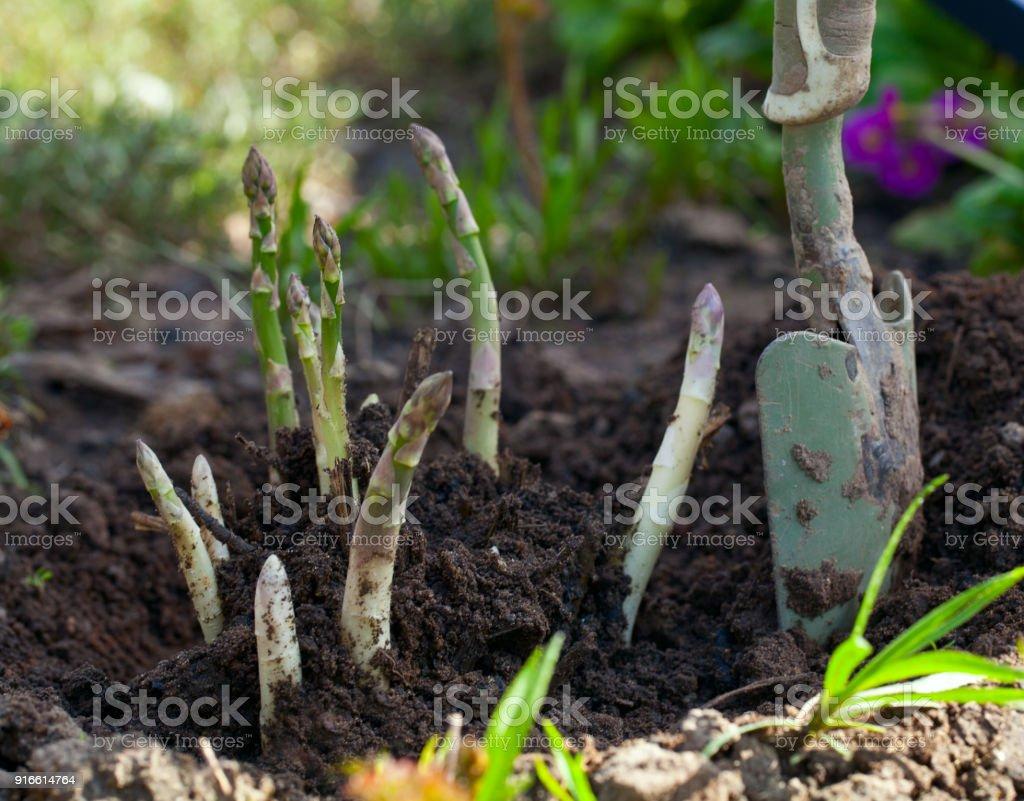 Crecimiento de espárragos - foto de stock