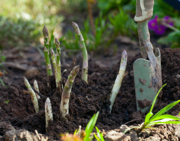 growing asparagus - asparagus stock pictures, royalty-free photos & images