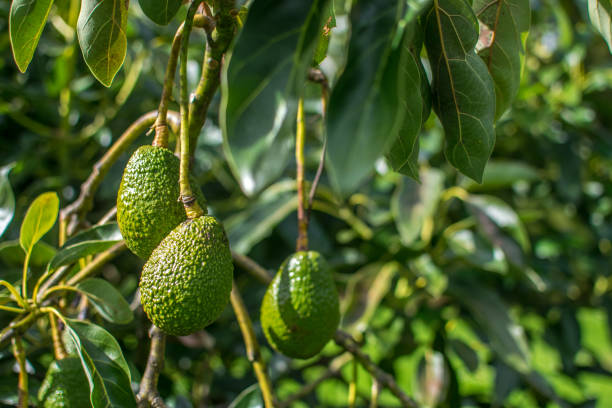 Growing Avocado on the tree stock photo