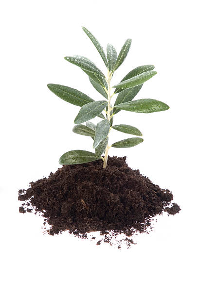 growing baby plant. olive in soil stock photo