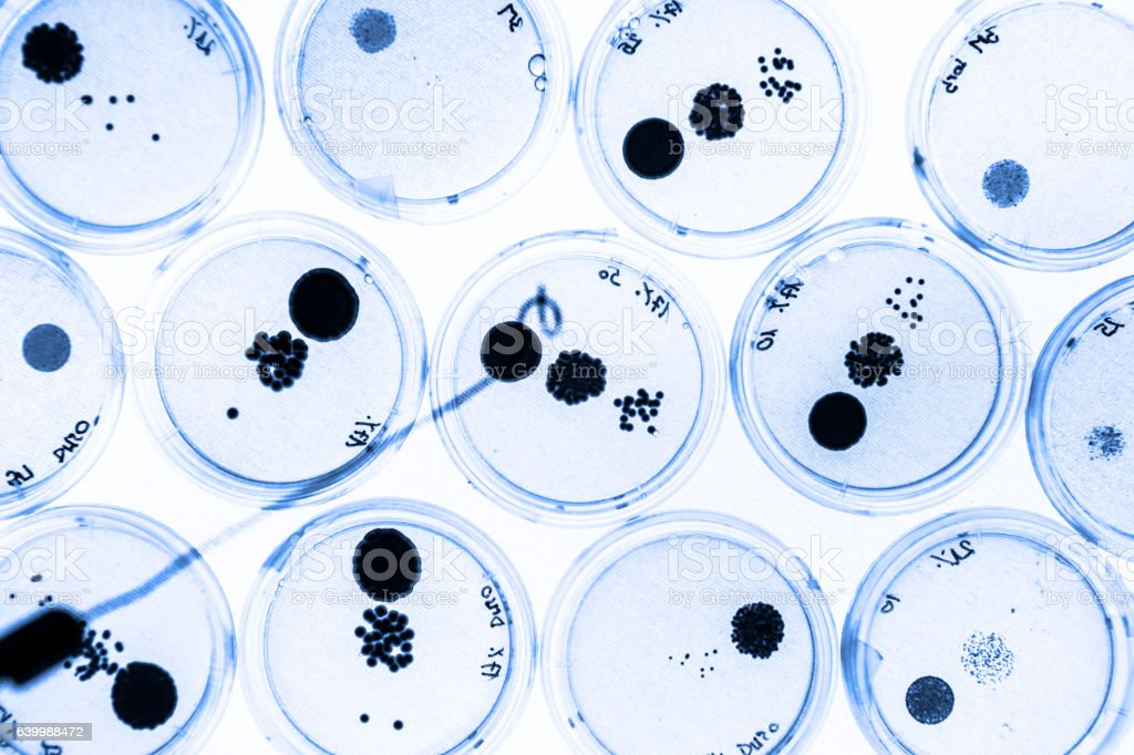Growing Bacteria in Petri Dishes. stock photo