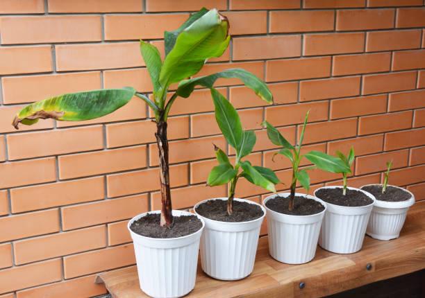 Wachsenden Bananen - wie Bananenpflanzen wachsen. Blumen In Töpfen zu verpflanzen. Bananenstaude, Bananenstauden, Bananenpflanzen, Bananenstauden. – Foto