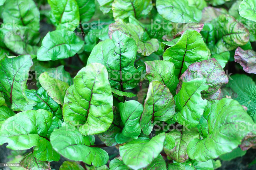 growing beetroots stock photo