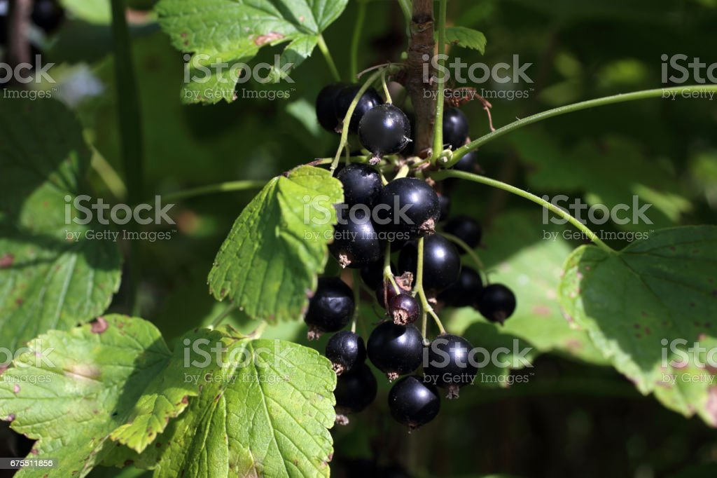Growing black currant royalty-free stock photo