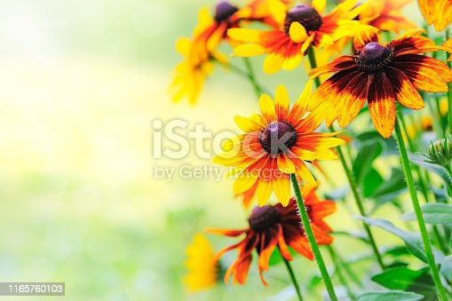 Beautiful rudbeckia flowers blooming in the garden on a sunny day (copy space)