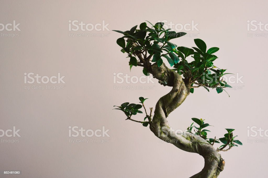 A Growing Bonzai Tree - foto stock