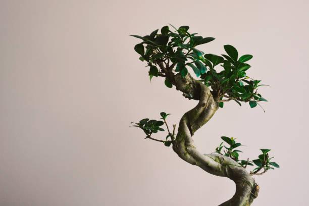 Un arbre à croissance Bonzai - Photo