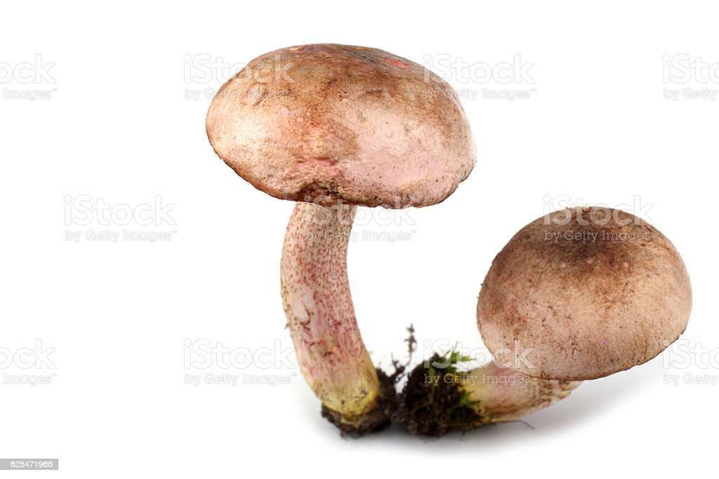 Growing brown cap boletus mushrooms stock photo