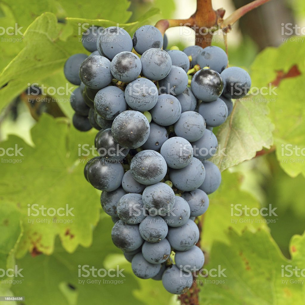 growing bunch of red wine grapes stock photo
