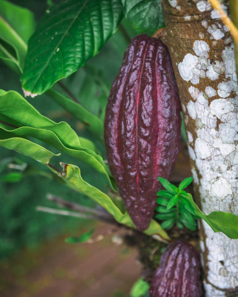 Growing cacao pod in the forest of Bali island stock photo