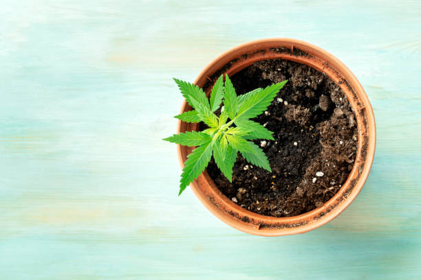 Growing cannabis at home. A young hemp plant in a pot, top shot on a teal blue background with a place for text stock photo