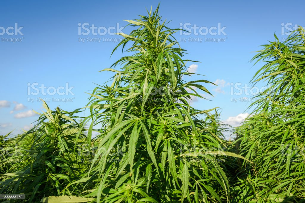 Growing cannabis plants stock photo