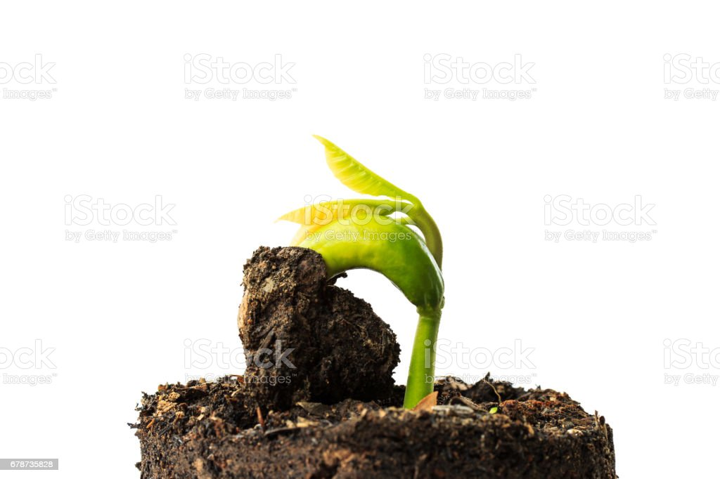 growing cashew seedlings from seeds in nursery bags on white background royalty-free stock photo